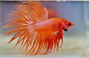 orange betta fish crown tail